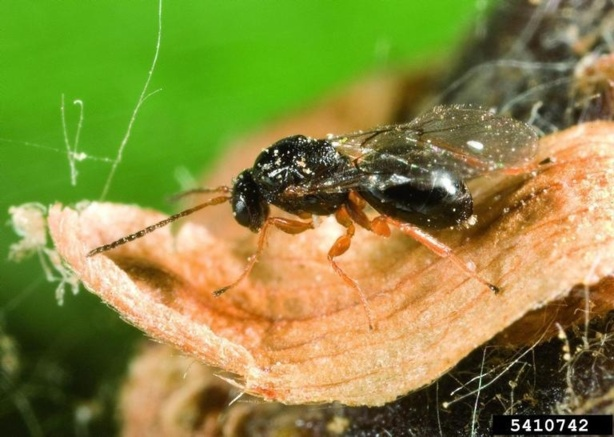 Dryocosmus kuriphilus, le cynips du châtaignier